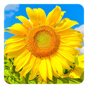 Download Golden Sunflower LWP 4.0 Apk for android